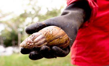 Seis toneladas de Caracol Gigante Africano ya fueron recolectadas por el AMB durante el 2019, en las zonas verdes de barrios y comunas del área metropolitana